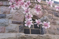 Pink Magnolia Flowers (marylea) Tags: pink flowers spring catholic michigan blossoms annarbor magnolia catholicchurch blooms magnolias stthomasaa stthomastheapostlecatholicchurch