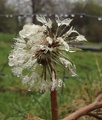 Bedraggled dandelion (magnum_lady) Tags: wet water rain weather weed dandelion raindrops fantasticflower