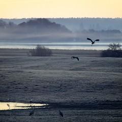 Breakfast at dawn (warmianaturalnie) Tags: morning mist bird nature birds dawn warmia