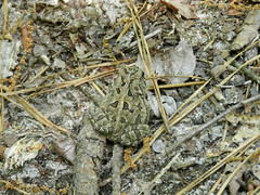 Fowler's Toad (Christine_Ray) Tags: new pine forest state reserve national jersey pinelands barrens belleplain belleplaincapemayandparvin