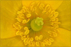 Yellow poppy (bobspicturebox) Tags: flowers trees red kite nature robin birds clouds geese ducklings starling sparrow poppies rowan nuthatch greylag gosslings migies