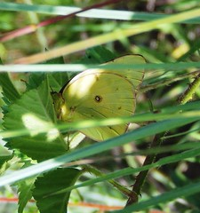 Orange Sulphur (Colias eurytheme) (royaltyler) Tags: lateafternoon