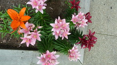 Lillies (A.Currell) Tags: pink red orange hill baltimore bolton