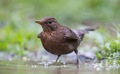 Blackbird bath....