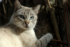 IMGP7639 (EdmilsonFeldmann) Tags: blueeyes whitecat snowcat olhoazul blueeyedcat gatobranco gatodeolhosazuis gatodaneve