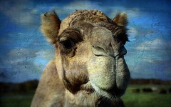 Norman (TicKavich) Tags: texture camel hump