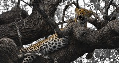 Mammals of Africa (Wild in Africa.) Tags: africa wild nature beauty animals southafrica bush wildlife spots leopard stealth rare krugernationalpark kruger predators big5 uncommon clintonjonker