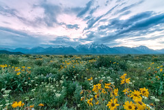 Wildflowers at the Tetons (Ronnie Wiggin) Tags: travel flowers sunset sky usa mountains nature field clouds landscape outdoors nikon bravo day image cloudy images jackson kelly wildflowers tetons overlook phot digitalphoto grandteton jacksonhole scenics jh tetonrange naturephotography mountainrange grandtetonnationalpark d300 teatons gtnp antelopeflats jacksonwy snowcoveredmountains cathedralgroup thethreebreasts shadowmountain photoideas nikond300 beautifulnaturephotos amazingnaturephotos lestroisttons rwigginphotos ronniewiggin ronniewiggin unitedstatesnationalpark40milelongtetonrangetetonrangejacksonholenationalmonumentrockymountains