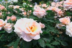 Seoul Grand Park Rose Fest 002 (travel oriented) Tags: rose korea  seoulgrandparkrosefestival