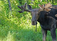 Riding Mountain Moose...#4 (Guy Lichter Photography - Thank you for 2.5M views) Tags: canada animal animals canon wildlife moose manitoba mammals ridingmountainnationalpark canon14xteleconverter canon70200mmf4l 5d3 amazingwildlifephotography