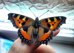 Butterfly on finger.  . (jsarmule) Tags: blue orange black flower window nature beautiful beauty yellow butterfly bathroom photo amazing wings pattern hand bright finger room bondage fairy pleasure bourgeon burgeon unusually            remarkably