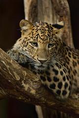 China Leopard (Blitzknips) Tags: cat sony leopard bigcat katze tierpark katzen a77 tierparkberlin mygearandme mygearandmepremium mygearandmebronze mygearandmesilver mygearandmegold