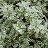 "Variegated Pittisporum • <a style=""font-size:0.8em;"" href=""http://www.flickr.com/photos/101656099@N05/9733559759/"" target=""_blank"">View on Flickr</a>"