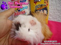 Cobayo Peruano Bebe (franklinmora490) Tags: en guinea pig venezuela largo extra venta pelo cria cobayos reproduccion acures