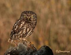 Mochuelo Europeo (Athene noctua) Little Owl (Corriplaya) Tags: birds aves littleowl athenenoctua mochueloeuropeo corriplaya