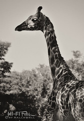 Long Neck (Hi-Fi Fotos) Tags: bw nature animal sepia neck mammal zoo mono nikon long pittsburgh shadows african sigma camouflage tall giraffe creature dappled d5000 18250mm hallewell hififotos