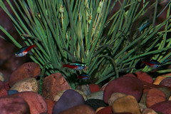 Neon Tetra (Paracheirodon innesi) at Woodland Park Zoo (1) (iaakisa_zna) Tags: animal tetra animalia woodlandparkzoo vertebrate tropicalrainforest neontetra chordata characidae characin actinopterygii paracheirodoninnesi characiformes deuterostome rayfinnedfish eugnathostomata characid