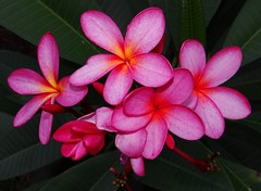 FRANGIPANI / PLUMERIA  #18  (Bangla =  ) (3Point141) Tags: usa flower florida frangipane plumeria exotic tropical frangipani apocynaceae ghosh tropicalflower exoticflower 16180 juliamorton jasminmanga plumeriaspp rvorepagode 3point141 onepoint618 bratboy45 1point618phi