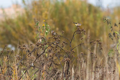 Flock of Goldfinches 3 (Wholesale of Void) Tags: city autumn urban fall abandoned nature birds animals russia moscow cities urbannature moscowcity wastelands flocks maryno cardueliscarduelis europeangoldfinch abandonedareas
