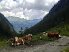 cows (Anke L) Tags: mountains alps animals austria day cows cloudy path rauris 2013 krumltal raurisertal