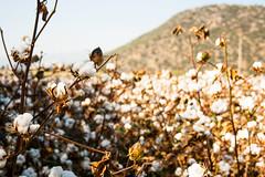 Cotton Filed, Ske Aydn - Turkey (sgoktepe) Tags: plants nature turkey trkiye turkiye farming cotton land tarim bitki aydin tarla pamuk aydn doa tarm ske akakaya