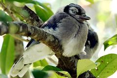 Backyard Juvenile Blue Jay -- Puffed Up and Napping (jan buchholtz) Tags: blue bird nature leaves closeup nap jay wildlife feathers fluff perch limb juvenile avian photinia nictitatingmembrane janbuchholtz
