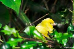 Sleepy yellow canary (DiDaDoDeborah) Tags: bird birds yellow canary canaries songbird songbirds birdphotography birdlovers yellowcanary