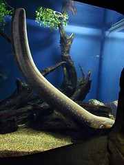 Electric eel (pastough) Tags: atlanta georgia georgiaaquarium electriceel electrophoruselectricus june2013