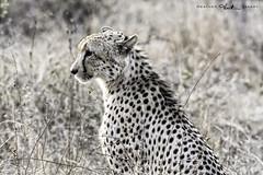Cheetah - South Africa (dks_34) Tags: southafrica nikon cheetah flickrbigcats heatherzakary nikond7100 gregorysweeneyphotosafari