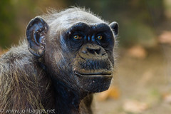 Our distant cousin, a Chimpanzee in Barcelona Zoo. (Jon Bagge) Tags: barcelona canon zoo jon 85mm ape chimpanzee bagge canon85mmf18 barcelonazoo greatphotographers 60d canoneos60d ringexcellence dblringexcellence tplringexcellence eltringexcellence jonbagge
