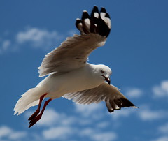 de zeemeeuw (14) (bertknot) Tags: seagulls seagull gull gulls mwe gaviota meeuw meeuwen gabbiano gaivota goland ms lokki zeemeeuw mge zeemeeuwen mewa sirly dalg   diemwe mouettedupegolandgolandbeccerclgolandargentgolandcendrgolandmarinmouetterieuse zeemeeuwenmeeuw
