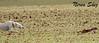 Velocidad (Amiga ilusión.) Tags: naturaleza pueblo campo animales campeonato zamora carreras caza castillayleón afición galgos competición liebres