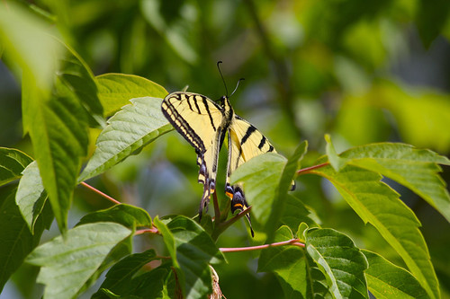 Photo - Boxelder tree with tiger swallowtail butterfly