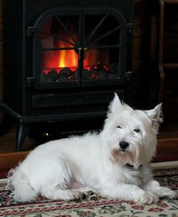 Monty's Favourite Place (Fire*Sprite*75) Tags: white fire fireplace warm westie terrier highland heat cosy monty
