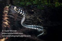 Black and White Sea Krait (toddwinner) Tags: reflection mangrove reptiles venomous marinelife reptilia squamata rajaampat seakraitslaticaudidae blackandwhiteseakrait dampirestrait