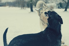 Sn❄w -- Day Three (Signature Move Siberians) Tags: explore explored seeninexplore