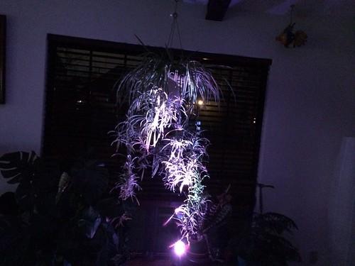 Disco plant