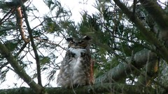 The Call of the Great Horned Owl (praja38) Tags: life wood trees winter wild ontario canada cold tree male bird feet pinetree forest wings woods branch wildlife tail wing feathers feather canadian whitby owl trunk wilderness needles wintertime predator birdofprey greathornedowl capricorn tailfeathers thicksonswoods