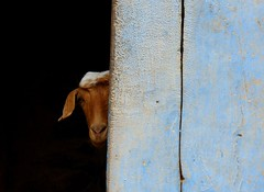 Peekaboo ! (Oman) (Frans.Sellies) Tags: goat oman jebelakhdar       umman p1070388