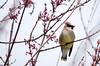 Surprised by Joy 188/365 (Maggggie) Tags: tree birds 365 cedarwaxwing puredelight