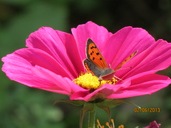 Small Copper on Cosmos 1 (white.anita22) Tags: butterfly wildlife lincolnshire cannon anita cosmosflower