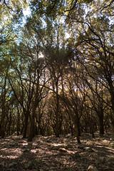 P1150045 (el vuelo del escorpin) Tags: winter espaa tree forest spain bosque rbol invierno serra mallorca baleares balearicislands tramuntana campanet fontsufanes