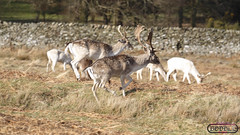 Bradgate Country Park 16th March 2014 (boddle (Steve Hart)) Tags: life road park red wild england macro nature canon prime march is spring stag natural britain wildlife bruce united country steve great doe 100mm deer telephoto l hart steven usm coventry standard 70300mm 16th roe ef fallow deers stags 6d sika 2014 wilds bradgate wyke kingdon 24105mm deos wyken boddle