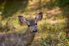 :p (glabaria) Tags: california santa nature nikon university wildlife deer cruz fawn ucsc ucsantacruz universityofcalifornia 105mm