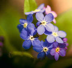 forget-me-not [explored] (carol_malky) Tags: pink flowers blue sunlight white macro green leaves yellow explore lilac tiny forgetmenot