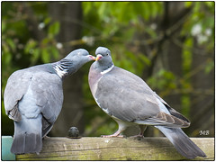 bisous XE1 DSCF2863 (mich53 - Thanks for 2700000 Views!) Tags: love birds couple pigeon tendresse lovingcouple woodpigeons palombe xe1 fujinonxf55200mm13548rlmois