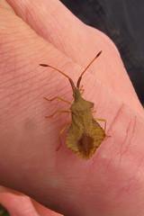 Rhombic Leatherbug (Gareth Christian) Tags: nature canon bug kent wildlife powershot hs larva shieldbug kwt longfield leatherbug kentwildlifetrust sx230 syromastusrhombeus longfieldchalkbank rhombicleatherbug