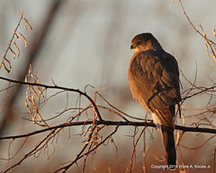 Cooper's Hawk 2486 (frank.kocsis1) Tags: colorado adult coopershawk cherrycreekstatepark coloradowildlife frankkocsis seealbumformorephotos