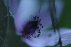 rainy feelings (Nina Tr) Tags: anemone