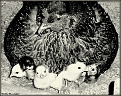 Galinha caipira / Chicken (Fbio & Carol) Tags: blackandwhite bw chicken nature field rural countryside galinha farm natureza pretoebranco pintinho caipira sitio fazenda frango sonydsch55